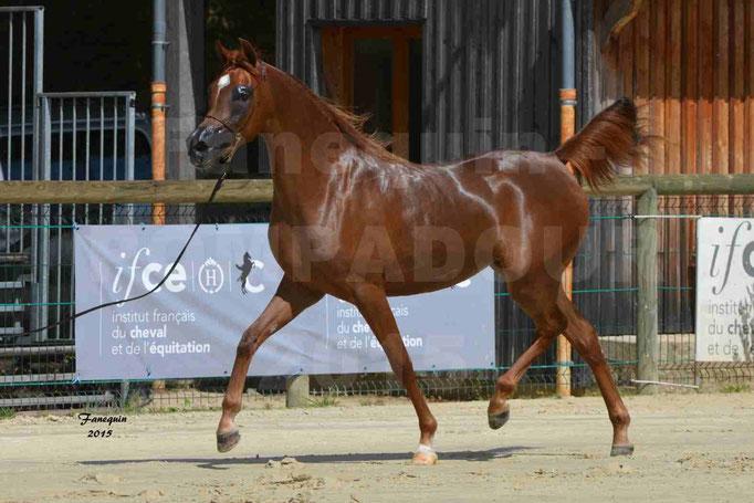 Championnat de FRANCE des chevaux ARABES à Pompadour - PEARL DE DJOON - Notre Sélection - 28