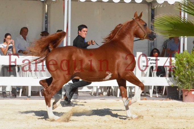 Concours National de Nîmes de chevaux ARABES 2014 - Notre Sélection - VALMYSTIC DE LA ROTJA - 03