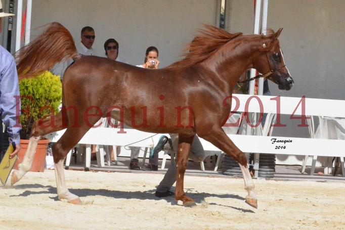 Concours National de Nîmes de chevaux ARABES 2014 - Notre Sélection - AINHOA LE BASQUE - 1