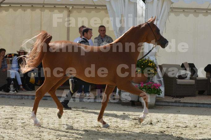 Championnat de FRANCE  de chevaux ARABES 2015 à POMPADOUR - AMJAD AL ADEYAT - 2