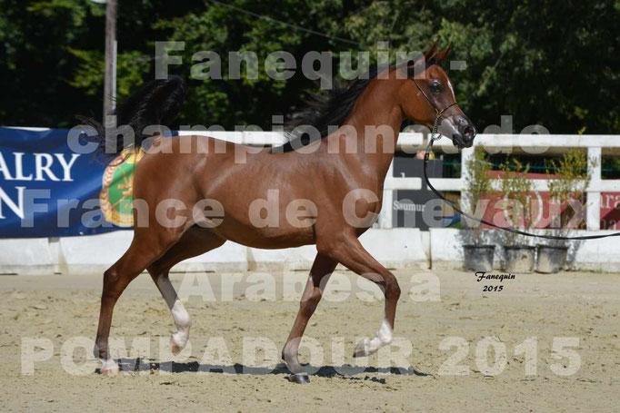 Championnat de FRANCE du cheval ARABE à POMPADOUR 2015 - Classes PROFESSIONNELS - PRIMERIUS EMER - 02