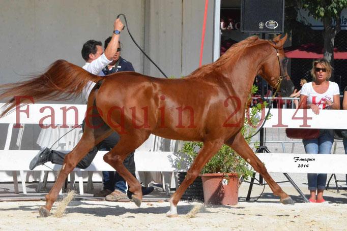 Concours National de Nîmes de chevaux ARABES 2014 - Notre Sélection - PRIAM DE DJOON - 16