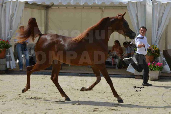 Championnat de FRANCE des chevaux ARABES à Pompadour - PEARL DE DJOON - Notre Sélection - 18