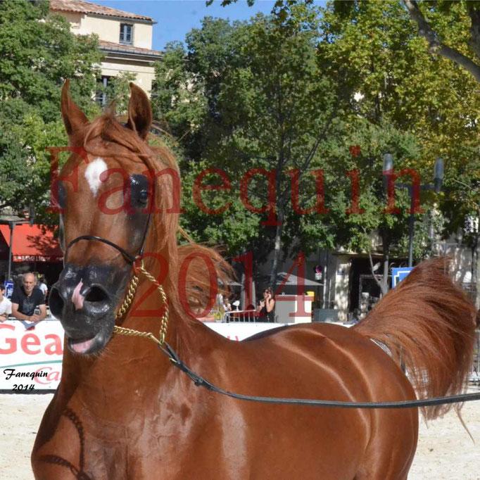 Concours National de Nîmes de chevaux ARABES 2014 - Notre Sélection - Portraits - PRIAM DE DJOON - 05
