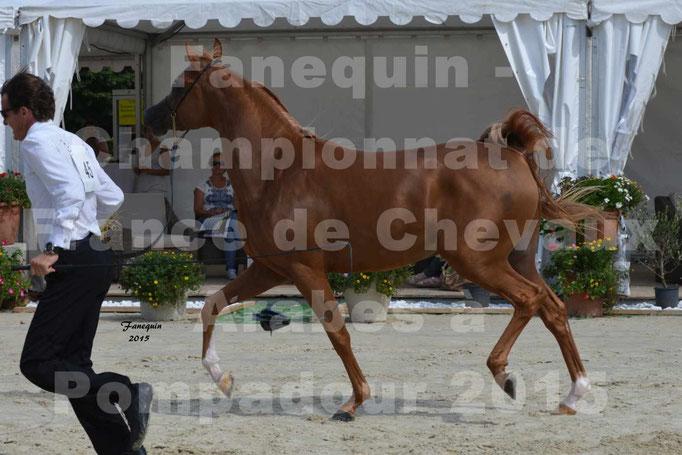 Championnat de FRANCE  de chevaux ARABES 2015 à POMPADOUR - AMJAD AL ADEYAT - 5
