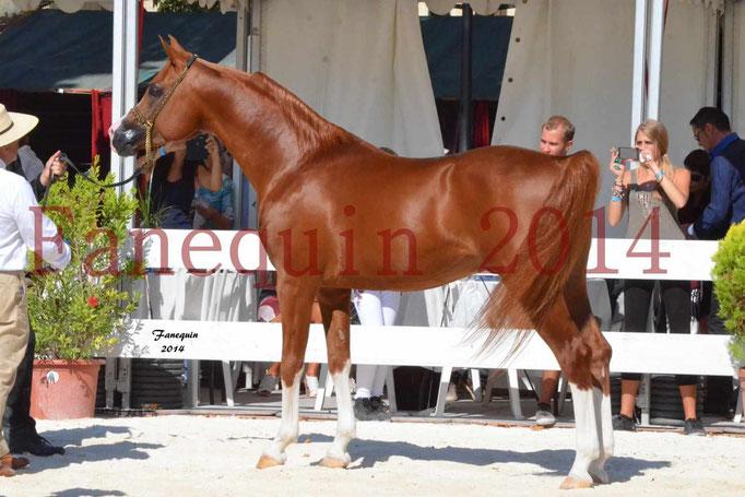 Concours National de Nîmes de chevaux ARABES 2014 - Notre Sélection - VALMYSTIC DE LA ROTJA - 14