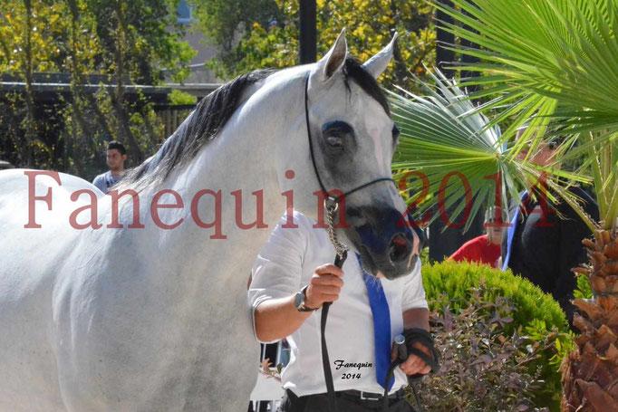 Concours National de Nîmes de chevaux ARABES 2014 - Notre Sélection - Portraits - NADJYK DES AUBUS - 6