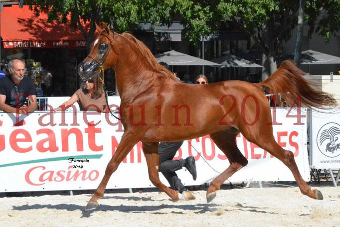 Concours National de Nîmes de chevaux ARABES 2014 - Notre Sélection - PRIAM DE DJOON - 20