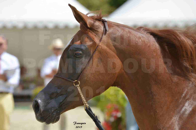 Championnat de FRANCE des chevaux ARABES à Pompadour - PEARL DE DJOON - Notre Sélection - Portraits - 08