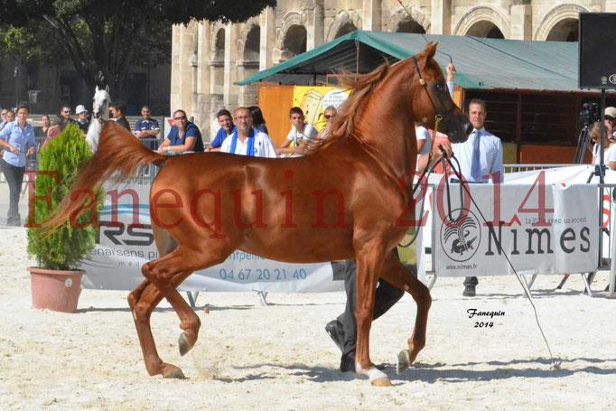 Concours National de Nîmes de chevaux ARABES 2014 - Notre Sélection - PRIAM DE DJOON - 01