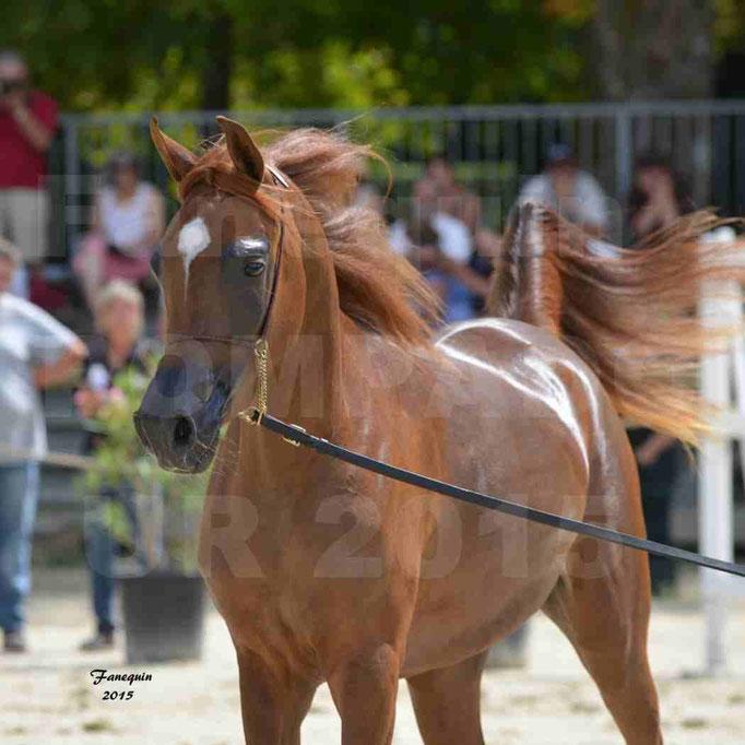 Championnat de FRANCE des chevaux ARABES à Pompadour - PEARL DE DJOON - Notre Sélection - Portraits - 05
