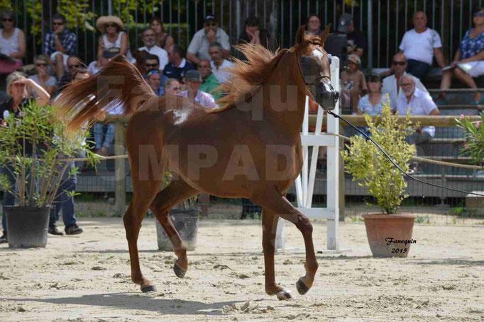 Championnat de FRANCE des chevaux ARABES à Pompadour - PEARL DE DJOON - Notre Sélection - 22