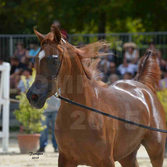 Championnat de FRANCE des chevaux ARABES à Pompadour - PEARL DE DJOON - Notre Sélection - Portraits - 06