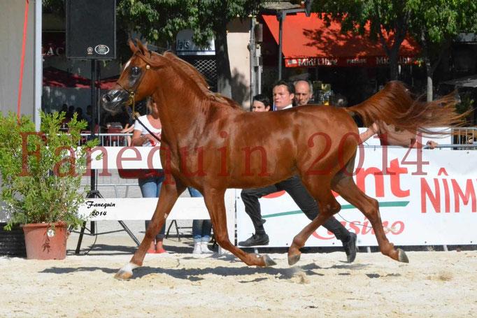 Concours National de Nîmes de chevaux ARABES 2014 - Notre Sélection - PRIAM DE DJOON - 21