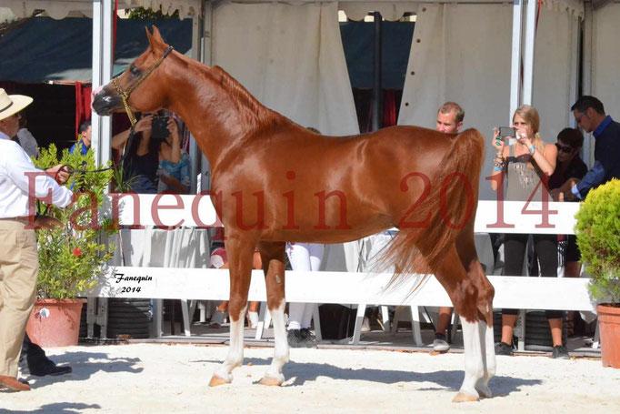 Concours National de Nîmes de chevaux ARABES 2014 - Notre Sélection - VALMYSTIC DE LA ROTJA - 13