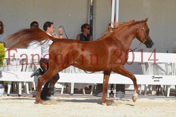 Concours National de Nîmes de chevaux ARABES 2014 - Notre Sélection - PRIAM DE DJOON - 09