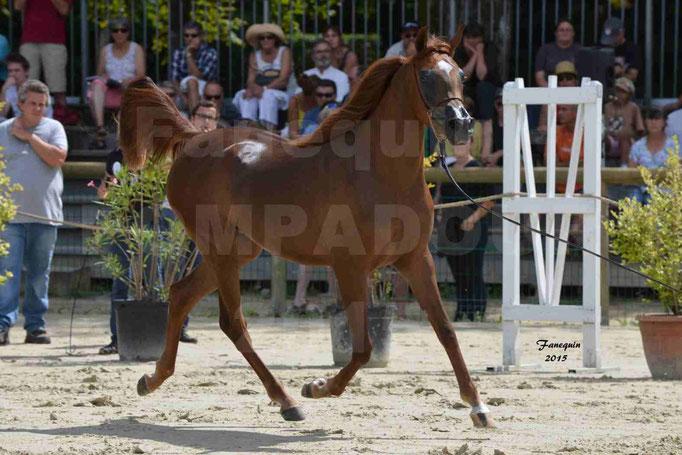 Championnat de FRANCE des chevaux ARABES à Pompadour - PEARL DE DJOON - Notre Sélection - 21