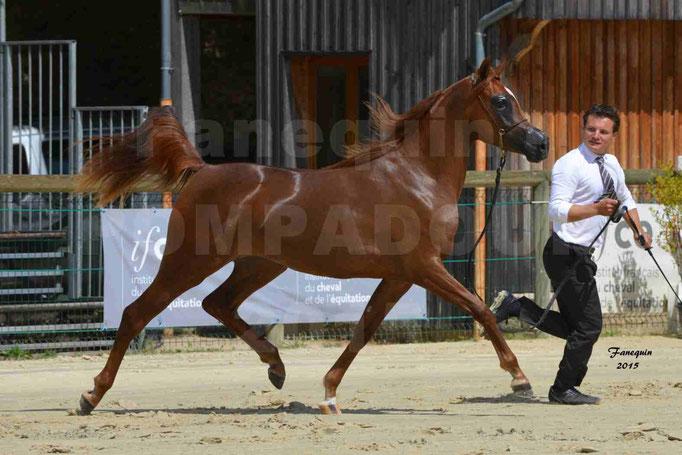 Championnat de FRANCE des chevaux ARABES à Pompadour - PEARL DE DJOON - Notre Sélection - 33