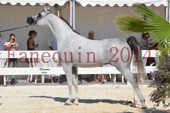 Concours National de Nîmes de chevaux ARABES 2014 - Notre Sélection - NADJYK DES AUBUS - 16