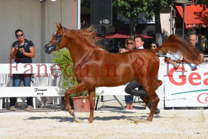 Concours National de Nîmes de chevaux ARABES 2014 - Notre Sélection - PRIAM DE DJOON - 22