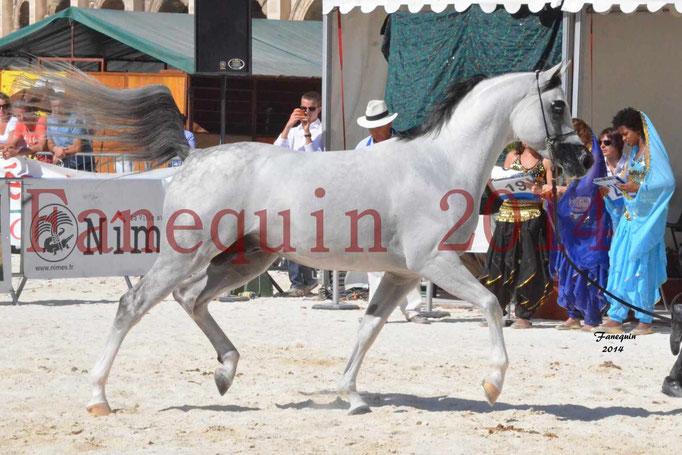 Concours National de Nîmes de chevaux ARABES 2014 - Notre Sélection - NADJYK DES AUBUS - 08