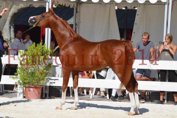 Concours National de Nîmes de chevaux ARABES 2014 - Notre Sélection - VALMYSTIC DE LA ROTJA - 15