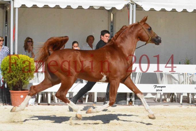 Concours National de Nîmes de chevaux ARABES 2014 - Notre Sélection - VALMYSTIC DE LA ROTJA - 02