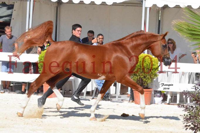 Concours National de Nîmes de chevaux ARABES 2014 - Notre Sélection - VALMYSTIC DE LA ROTJA - 12