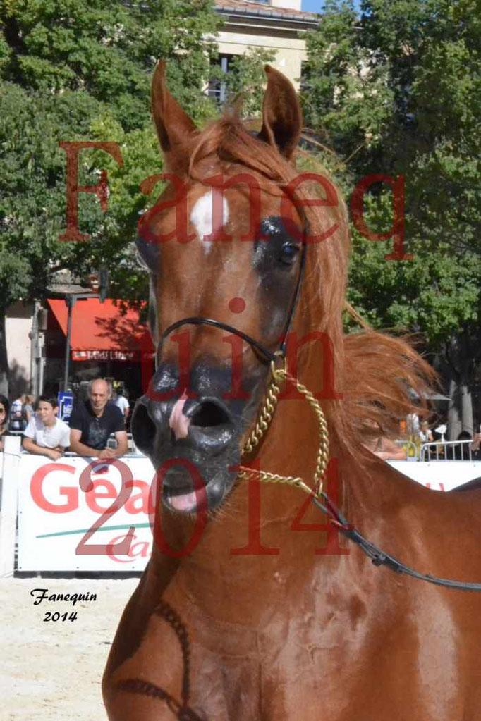 Concours National de Nîmes de chevaux ARABES 2014 - Notre Sélection - Portraits - PRIAM DE DJOON - 08