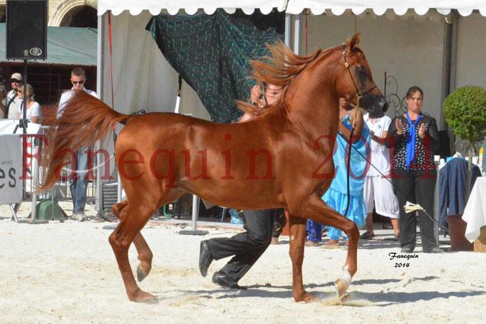 Concours National de Nîmes de chevaux ARABES 2014 - Notre Sélection - PRIAM DE DJOON - 07