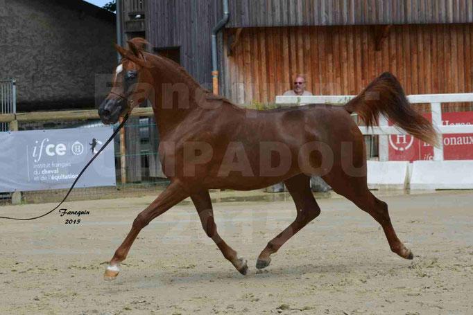 Championnat de FRANCE des chevaux ARABES à Pompadour - PEARL DE DJOON - Notre Sélection - 12