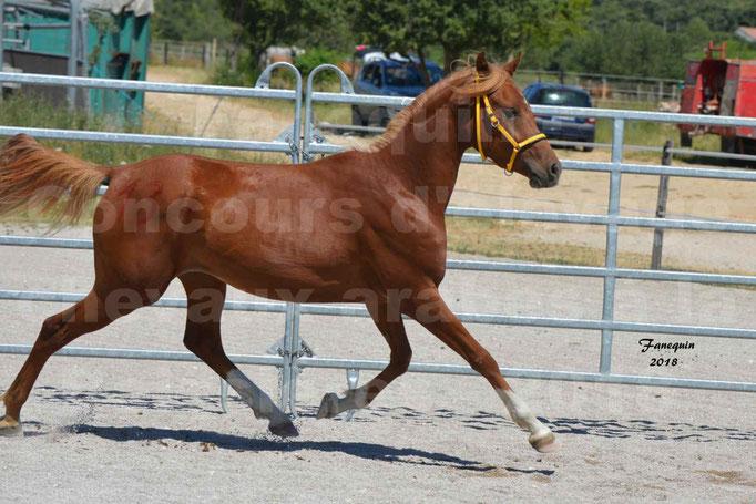 Concours d'Elevage de chevaux Arabes  le 27 juin 2018 à la BOISSIERE - 4