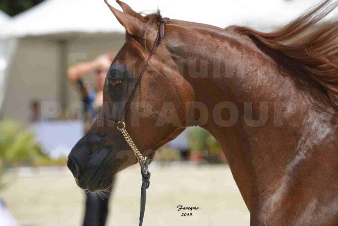 Championnat de FRANCE des chevaux ARABES à Pompadour - PEARL DE DJOON - Notre Sélection - Portraits - 09
