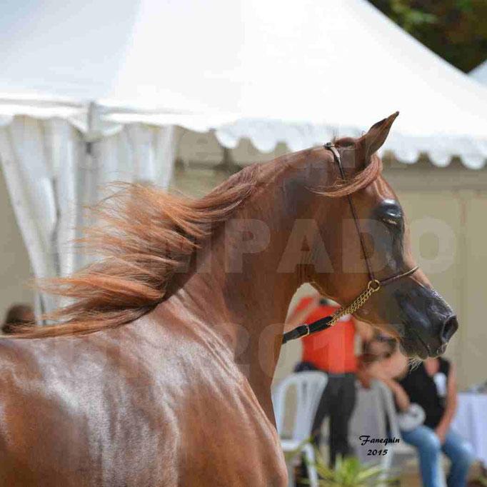 Championnat de FRANCE des chevaux ARABES à Pompadour - PEARL DE DJOON - Notre Sélection - Portraits - 02