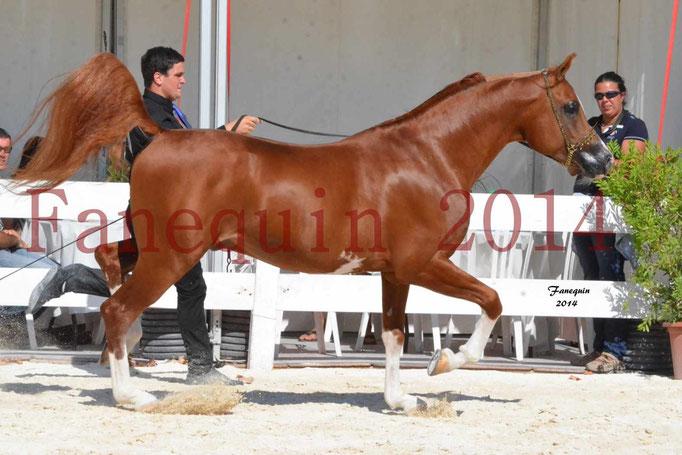 Concours National de Nîmes de chevaux ARABES 2014 - Notre Sélection - VALMYSTIC DE LA ROTJA - 08