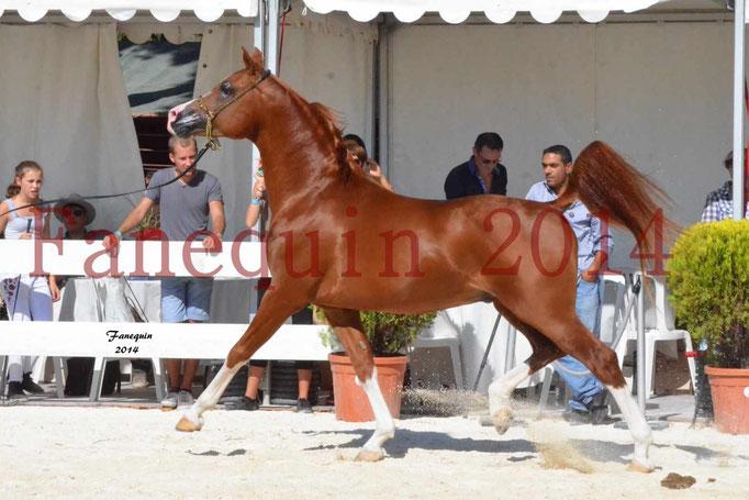 Concours National de Nîmes de chevaux ARABES 2014 - Notre Sélection - VALMYSTIC DE LA ROTJA - 10