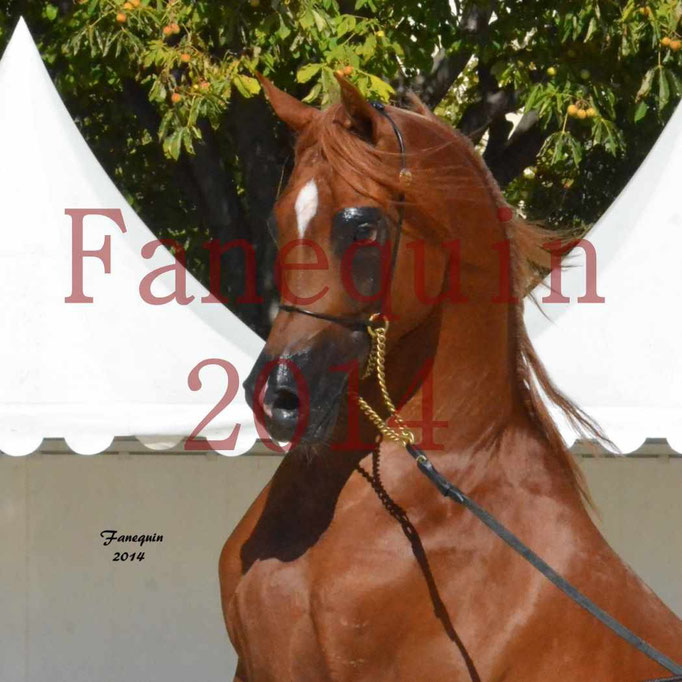 Concours National de Nîmes de chevaux ARABES 2014 - Notre Sélection - Portraits - PRIAM DE DJOON - 03