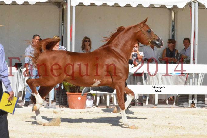 Concours National de Nîmes de chevaux ARABES 2014 - Notre Sélection - VALMYSTIC DE LA ROTJA - 01