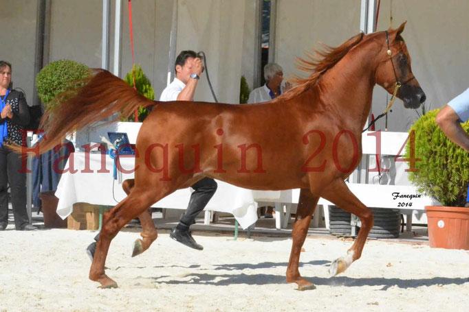 Concours National de Nîmes de chevaux ARABES 2014 - Notre Sélection - PRIAM DE DJOON - 08