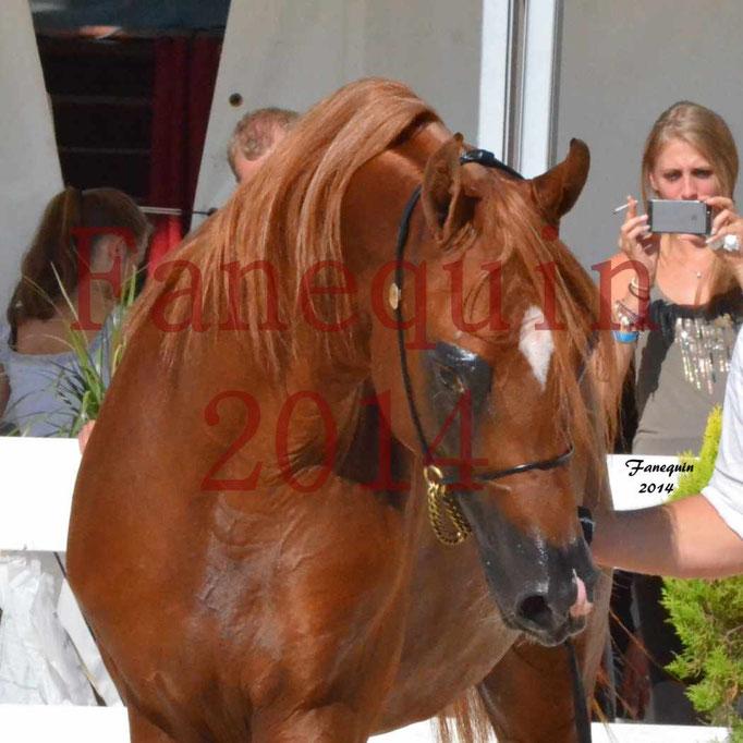 Concours National de Nîmes de chevaux ARABES 2014 - Notre Sélection - Portraits - PRIAM DE DJOON - 01