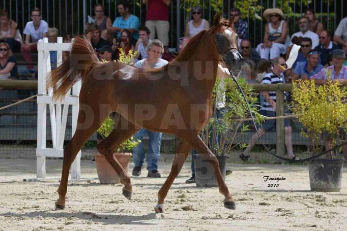 Championnat de FRANCE des chevaux ARABES à Pompadour - PEARL DE DJOON - Notre Sélection - 20