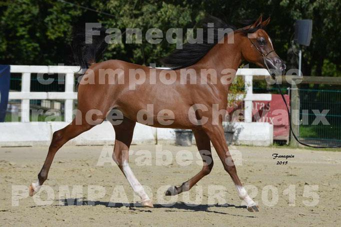 Championnat de FRANCE du cheval ARABE à POMPADOUR 2015 - Classes PROFESSIONNELS - PRIMERIUS EMER - 03