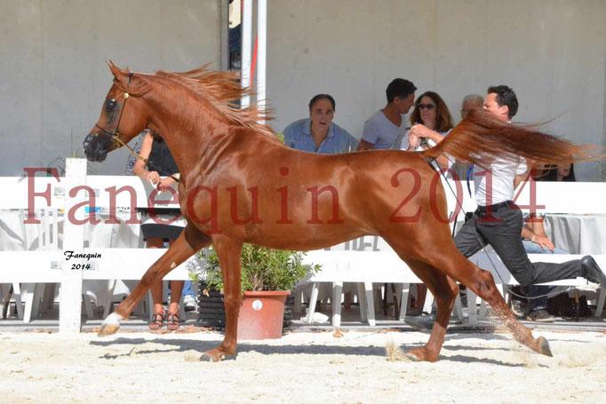 Concours National de Nîmes de chevaux ARABES 2014 - Notre Sélection - PRIAM DE DJOON - 24