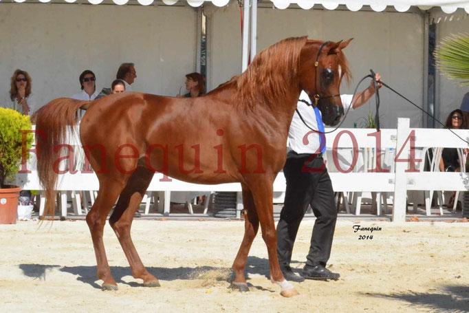 Concours National de Nîmes de chevaux ARABES 2014 - Notre Sélection - PRIAM DE DJOON - 12