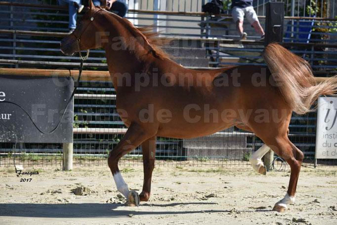 Championnat de France de Chevaux Arabes à Pompadour les 19 & 20 Août 2017 - 3