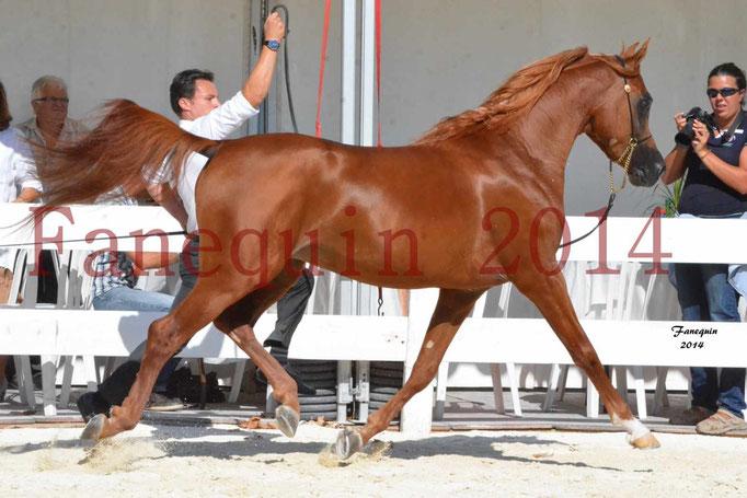 Concours National de Nîmes de chevaux ARABES 2014 - Notre Sélection - PRIAM DE DJOON - 15