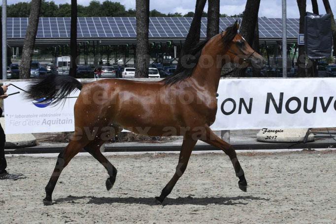 """Concours international de chevaux ARABES - """"Arabian Masters"""" Bordeaux 2017 - JABBOK DE NAUTIAC - 07"""