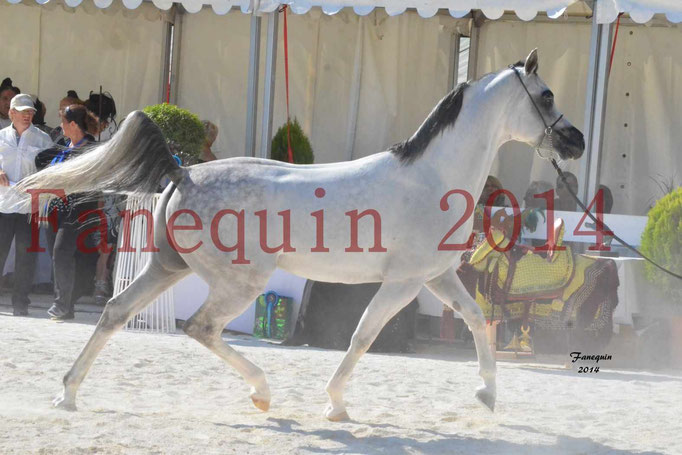 Concours National de Nîmes de chevaux ARABES 2014 - Notre Sélection - NADJYK DES AUBUS - 18