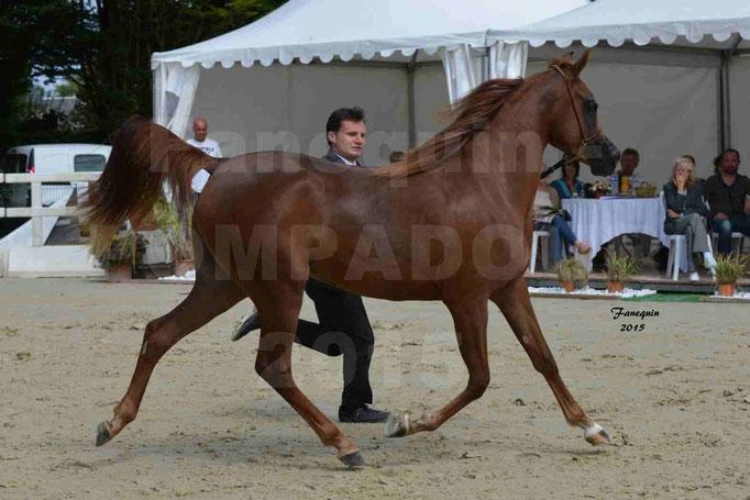 Championnat de FRANCE des chevaux ARABES à Pompadour - PEARL DE DJOON - Notre Sélection - 13