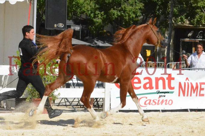 Concours National de Nîmes de chevaux ARABES 2014 - Notre Sélection - VALMYSTIC DE LA ROTJA - 04